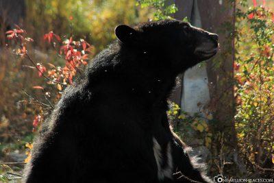 Die Yellowstone Bear World