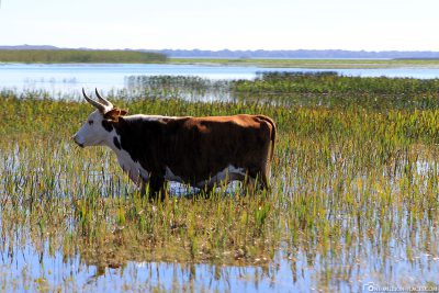 A cow in the water