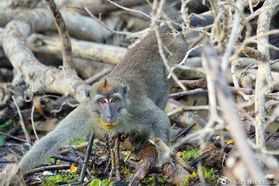 Monkeys on Borneo