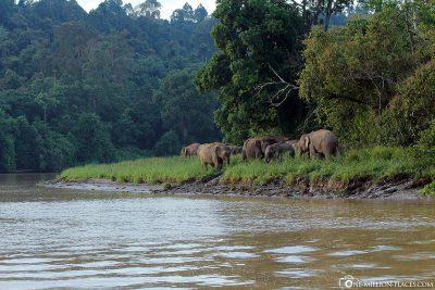 A group of jungle elephants on the Kinabatangan River