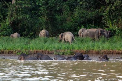 Eine Gruppe von Urwaldelefanten