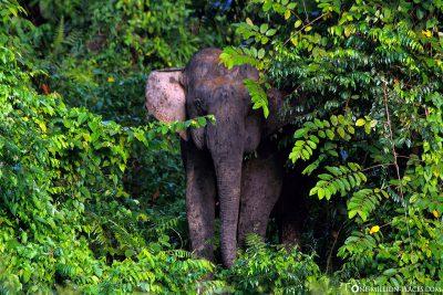 Ein Urwaldelefant kommt aus dem Dschungel