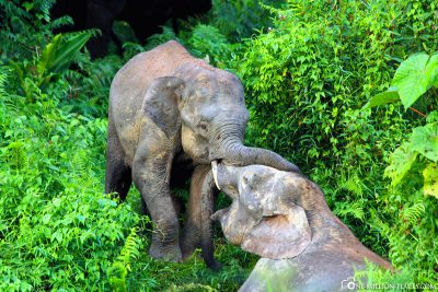 2 playing jungle elephants