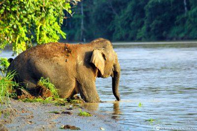 Ein Urwaldelefant in Borneo