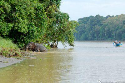 Elephant on the Kinabatangan River