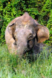 A wild elephant in Borneo