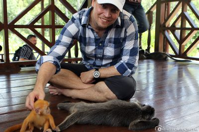 Play with the little Silver Leaf Monkey