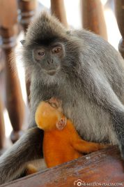 A monkey mother with a baby