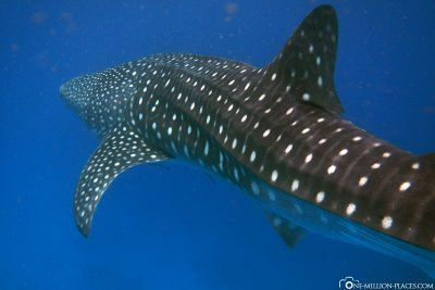 Whale sharks on the coast of Cebu Island