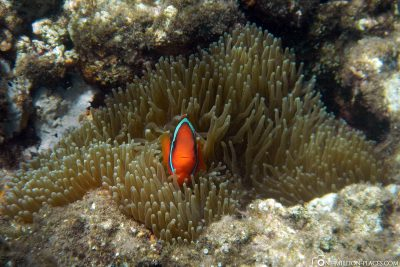 An anemone fish