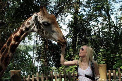 Feeding giraffes