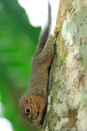 Eichörchen