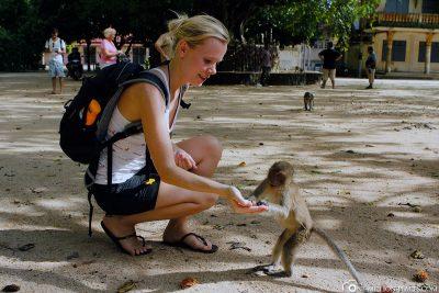 Die Makaken-Affen am Tempel
