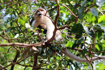 Affen in den Bäumen