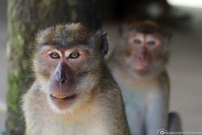 2 Macaque Monkeys