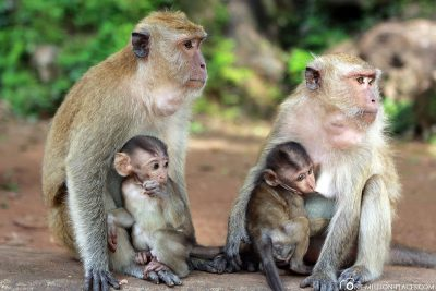 2 macaque monkeys with their babies