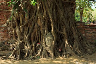 The Buddha's Head in a Tree