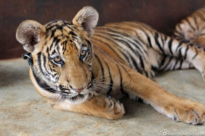 Füttern von Baby-Tigern