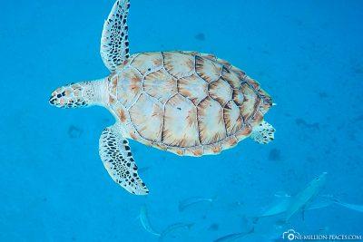 Schnorcheln mit Schildkröten
