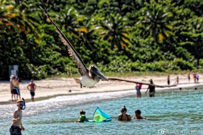 Pelikane in der Magens Bay