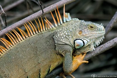 Iguanas on the roadside