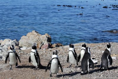 The Penguins in Bettys Bay
