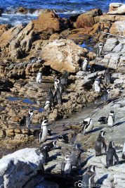 The Penguin Colony in Betty's Bay