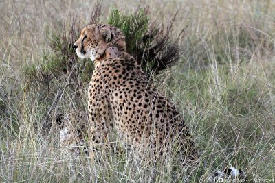Cheetahs at Gondwana Game Reserve