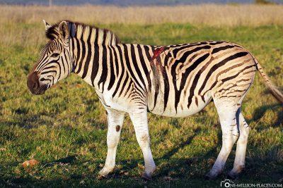 Zebras at Gondwana Game Reserve