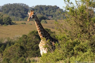 Giraffes at Gondwana Game Reserve