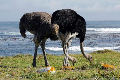 Strauße im Nationalpark Tafelberg