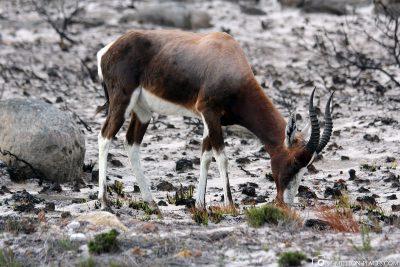 Tiere im Nationalpark Tafelberg