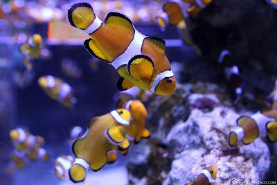 Nemo Fish at Two Oceans Aquarium