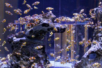 Lots of Nemo fish