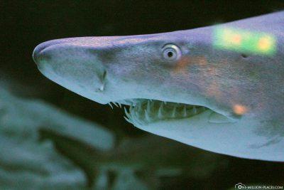 Shark at Two Oceans Aquarium
