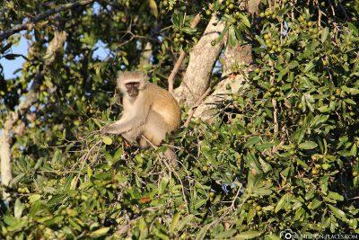 Safari im Kruger-Nationalpark