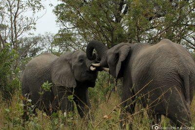 2 fighting elephants