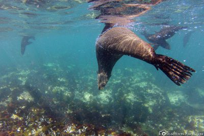 Schnorcheln mit Seelöwen am Duiker Island