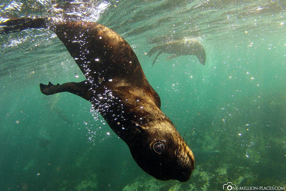 Schwimmen mit Seelöwen, Hout Bay, Südafrika, Seal Snorkeling, Afrika, Reisebericht, Auf eigene Faust