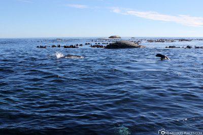 Duiker Island in der Hout Bay