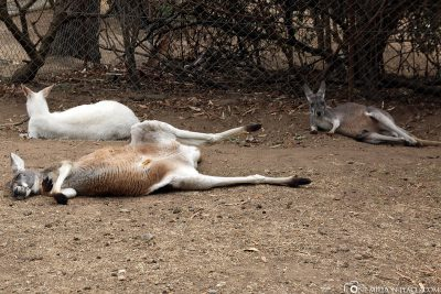 The Kangaroos chilling