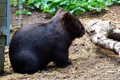 Ein Wombat
