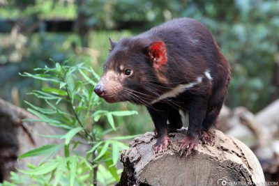 Ein Tasmanischer Teufel