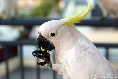 A white cockatoo