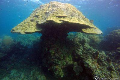 A coral mushroom
