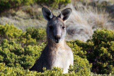 Kängurus in Cape Bridgewater