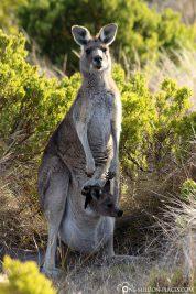 Eine Känguru-Mama mit ihrem Baby im Beutel