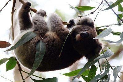 Koalas in freier Wildbahn