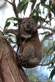 Die Koalas in Kennett River