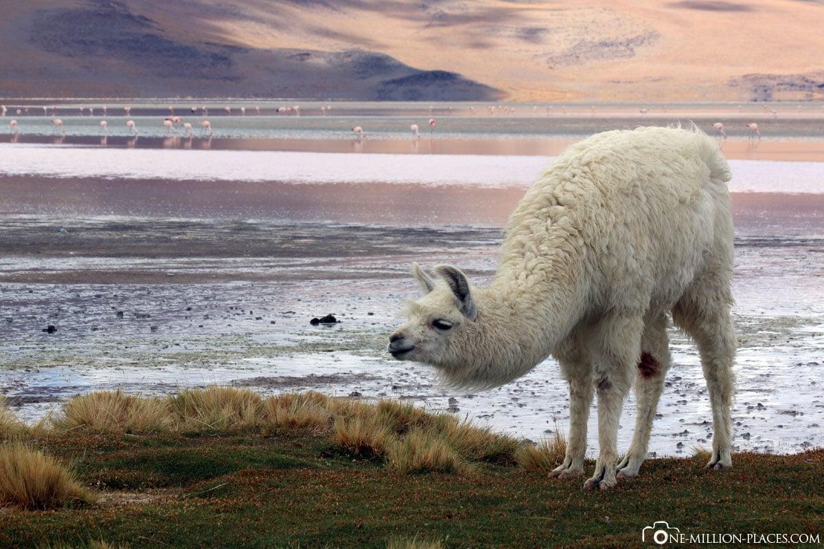 Alpaca, Laguna Colorada, Eduardo Avaroa National Park, Bolivia, South America, Tour, Travel Report